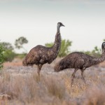 The Wonderous Benefits of Emu Oil